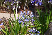 Blue African lily (Agapanthus) flowers in a garden.