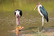 Marabou storks (Leptoptilos crumeniferus) feeding on a dead flamingo at Lake Bogoria, Kenya.