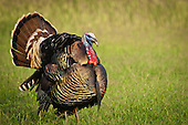 Turkey Hunting Stock Photos