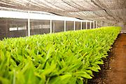 Sete Lagoas_MG, Brasil...Plantacao de bananeiras. Na foto detalhe de mudas...Banana tree cultivation. In this photo sprouds...Foto: LEO DRUMOND / NITRO
