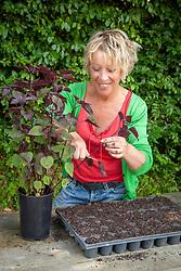 Carol Klein taking cuttings from eupatorium