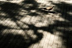 Vieste - sotto l'ombra di un pino