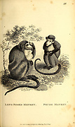 from General zoology, or, Systematic natural history Part I, by Shaw, George, 1751-1813; Stephens, James Francis, 1792-1853; Heath, Charles, 1785-1848, engraver; Griffith, Mrs., engraver; Chappelow. Copperplate Printed in London in 1800. Probably the artists never saw a live specimen