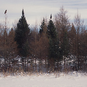 Adult great gray owl hunting in a Canadian forest.