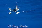 brown booby, Sula leucogaster, floating on ocean off South Kona, Hawaii Island ( the Big Island ) Hawaii, USA ( Central Pacific Ocean )
