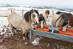 © Licensed to London News Pictures. 26/01/2021. Builth Wells, Powys, Wales, UK. Hardy Welsh mountain ponies huddle around feeding blocks in bitterly cold weather on the bleak Mynydd Epynt moorland near Builth Wells in Powys, Wales, UK. Photo credit: Graham M. Lawrence/LNP