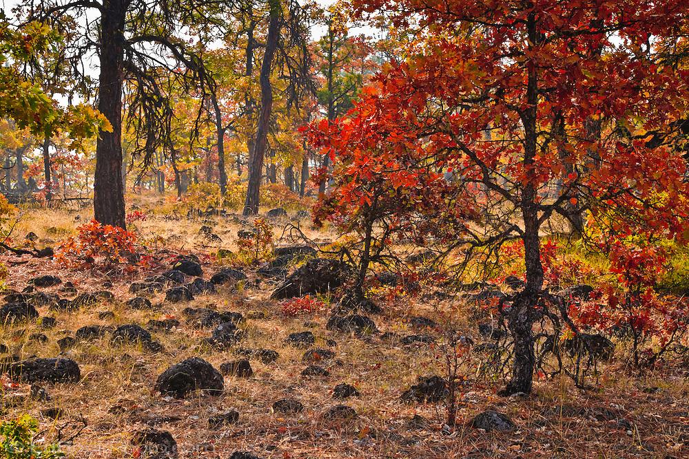 autumn Garry Oak, (Quercus garryana), Klickitat County, WA, USA