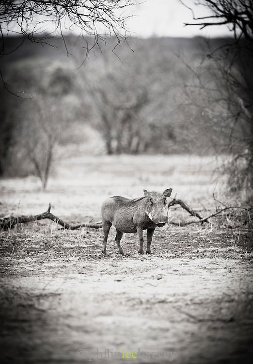 A warthog in the Selenkey Reserve, near Amboseli National Park in Kenya