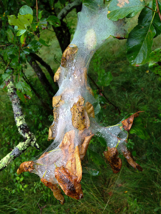 Dew-Covered Web, Witherle Woods, Castine, Maine, US