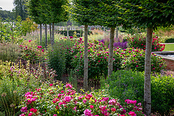 Rosa gallica var. officinalis AGM - Apothecary's rose and Rosa 'De Resht' syn. R. 'de Rescht' under pleached trees at Wynyard Hall
