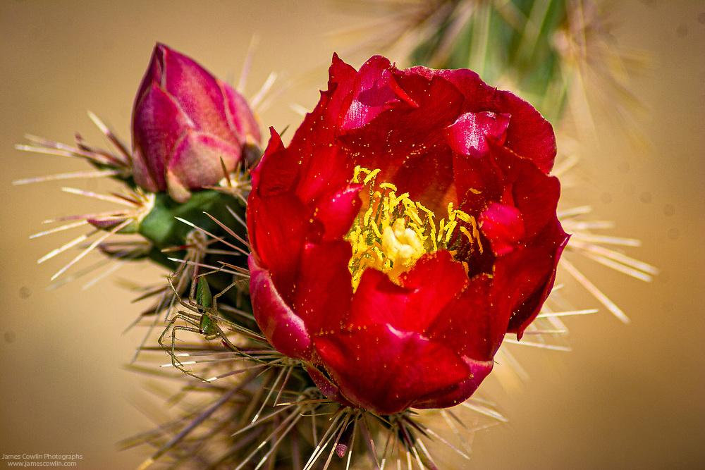 Cholla cactus flowers in the spring in Saguaro National Park, Arizona