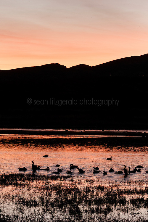 Ducks in pond at sunset, Bosque del Apache, National Wildlife Refuge, New Mexico, USA.