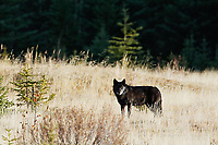 Wild black gray wolf in a meadow in autumn