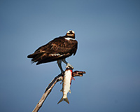 Osprey with a Fish. Biolab Road, Merritt Island National Wildlife Refuge. Image taken with a Nikon D4 camera and 500 mm f/4 VR lens (ISO 180, 500 mm, f/5.6, 1/2000 sec).