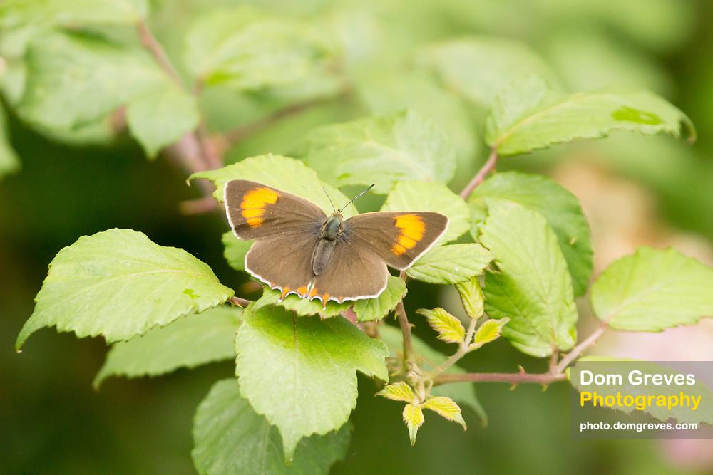 Brown hairstreak female butterfly (Thecla betulae) on bramble. Dorset, UK.