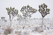 Joshua Trees (Yucca brevifolia) after a winter snow storm near Hidden Valley Campground, Joshua Tree National Park, California.