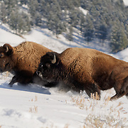 American bison (Bison bison) adults running. Yellowstone National Park, Wyoming