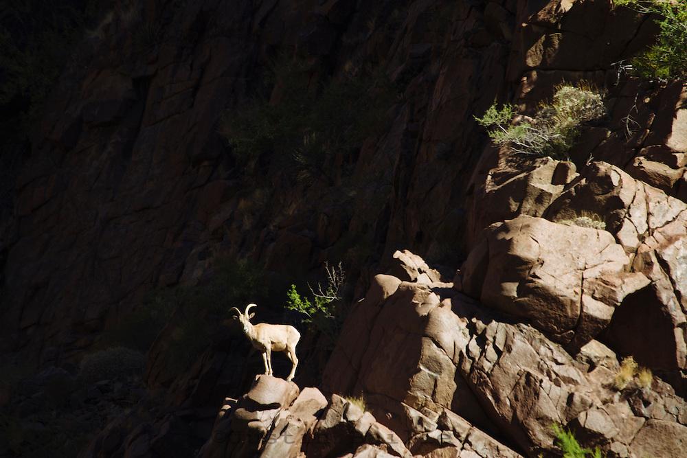 Bighorn sheep in the Grand Canyon National Park, AZ.