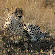 Cheetah, large male, Timbavati Game Reserve, South Africa.