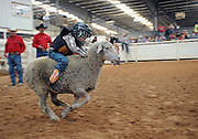 Child Sheep Racing<br /> <br /> Mutton busting is an event held at rodeos similar to bull riding or bronc riding, in which children ride or race sheep<br /> In the event, a sheep is held still, either in a small chute or by an adult handler while a child is placed on top in a riding position. Once the child is seated atop the sheep, the sheep is released and usually starts to run in an attempt to get the child off. Often small prizes or ribbons are given out to the children who can stay on the longest. There are no set rules for mutton busting,<br /> The vast majority of children participating in the event fall off in less than 8 seconds. Age, height and weight restrictions on participants generally prevent injuries to the sheep, and implements such as spurs are banned from use. In most cases, children are required to wear helmets and parents are often asked to sign waivers to protect the rodeo from legal action in that event.<br /> <br /> Photo shows: Amarillo, Texas, USA - 5-year-old Logan Moore looks like an old hand at mutton bustin' at the Tri-State Fair rodeo in Amarillo, Texas.<br /> ©Exclusivepix