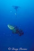 Don DeMaria prepares to tag Goliath grouper or jewfish, Epinephelus itajara, using speargun  Thunderbolt Wreck <br /> Marathon, Florida Keys ( Western Atlantic Ocean ) <br /> FSU-NMFS jewfish research project