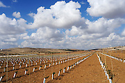 Israel, Negev, Lachish Region, Vineyard, a plot of newly planted grape vines