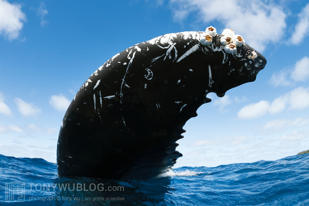 Fluke of an adult female humpback whale (Megaptera novaeangliae) which had the habit of resting upside-down, with the ventral surface of her fluke to the sky. She was the mother of an extremely active, inquisitive female calf. Photographed in Vava'u, Kingdom of Tonga.