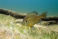 Bluegill Sunfish preparing nesting site<br /> <br /> ENGBRETSON UNDERWATER PHOTO