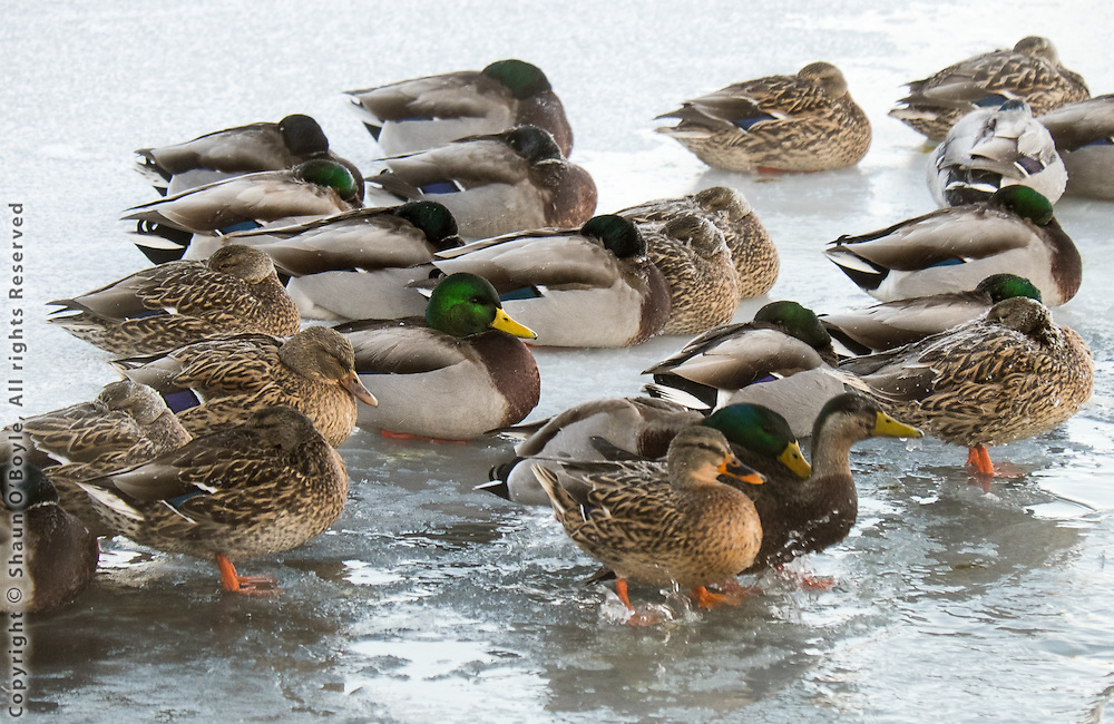 Ducks on Cheshire Lake at -10 F