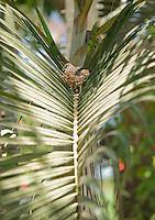Inca dove, Columbina inca, on its nest in a palm frond near Tarcoles, Costa Rica