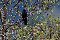 Large-billed crow, Corvus macrorhyncus, sitting in a tree in the humid montane mixed forest, Laba He National Nature Reserve, Sichuan, China