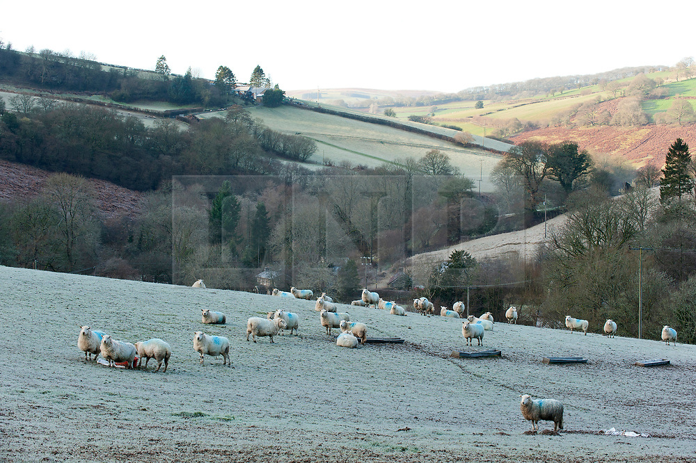 © Licensed to London News Pictures. 18/01/2020. Aberedw, Powys, Wales, UK. Sheep stand in a wintry landscape near Aberedw in Powys, UK after temperatures dropped to below freezing last night.  Photo credit: Graham M. Lawrence/LNP