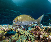 Fish on the reef of Revillagigedo (Socorro), MX