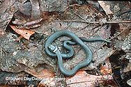 02810-001.08 (Dupe) Ring-necked Snake (Diadophis punctatus)    IL