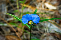 The unusual and bright blue widemouth dayflower in all it's glory growing in a pine scrub in Estero, Fl (Lee County).