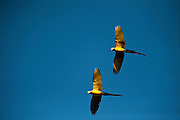 Blue-and-yellow Macaw (Ara ararauna)<br /> Rainforest<br /> Rewa River<br /> Iwokrama Reserve<br /> GUYANA. South America<br /> RANGE: South America from Trinidad and Venezuela south to Brazil, Bolivia, Colombia, and Paraguay.
