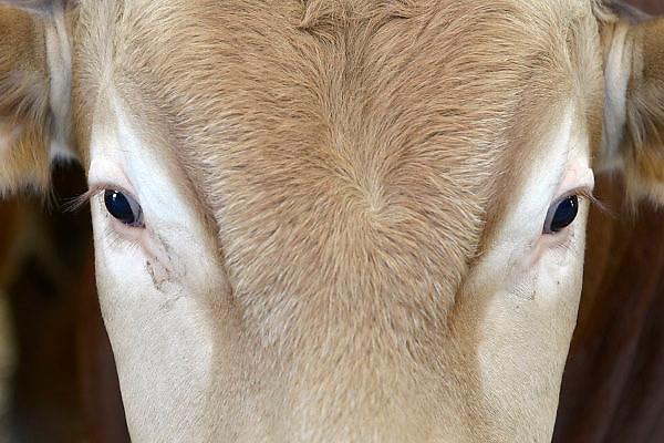 Nederland, Berkel Enschot, 15-6-2014 Open boerderijdag bij een vleesveebedrijf. Belangstellenden, vooral gezinnen met kinderen, kunnen kijken in de stal bij de Blonde Aquitaine koeien en stieren. Er zijn speeltoestellen en andere ontspanning voor de kinderen. Dit bedrijf heeft van de dierenbescherming twee sterren Beter Leven voor hun diervriendelijke en duurzame bedrijfsvoering.Foto: Flip Franssen/Hollandse Hoogte