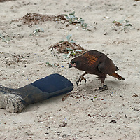 """A Striated Caracara, affectionately known to sailors as a """"Johnny Rook,"""" (for the species' thievery) sneaks up on a tourist's boot on a beach at New Island, in Britain's Falkland Islands."""