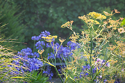 Fennel with Agapanthus 'Navy Blue' syn. 'Midnight Star' in the background. Foeniculum vulgare