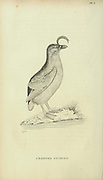Crested stariki from the 1825 volume (Aves) of 'General Zoology or Systematic Natural History' by British naturalist George Shaw (1751-1813). Shaw wrote the text (in English and Latin). He was a medical doctor, a Fellow of the Royal Society, co-founder of the Linnean Society and a zoologist at the British Museum. Engraved by Mrs. Griffith
