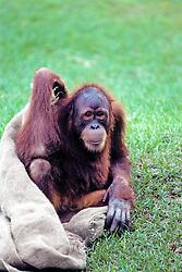 Orangutan With Burlap Bag