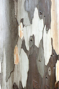 Close up of Eucalyptus Tree Bark, Sierra de Andujar Natural Park, Sierra Morena, Andalucia, Spain
