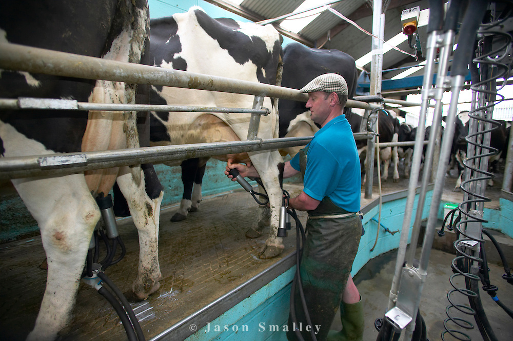 Dairy man milking cattle at Acorn Organic Dairy