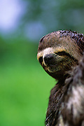 Three-toed Sloth face - Amazonia, Peru.