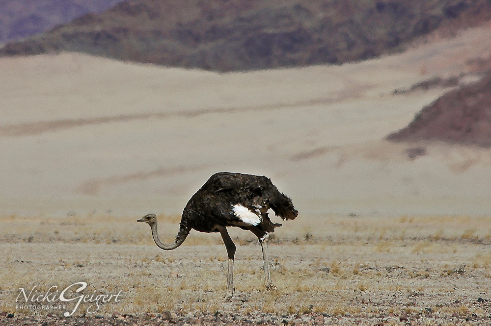 Ostrich hunting in the Namibian desert, Africa. Fine art photography prints and Nature photography wall art.