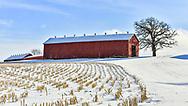 Raptor atop baren lone oak near red barn on a winter's day in Wisconsin