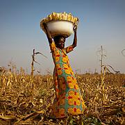 Maize Harvest in Duko Village, near Tamale, Northern Region of Ghana