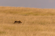 Lion in the long savanna grass of Maasai Mara, Kenya.
