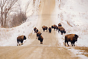 19 FEBRUARY 2021 - PRAIRIE CITY, IOWA: American Bison (buffalo) on dirt road in the Neal Smith National Wildlife Refuge near Prairie City, about 45 minutes from downtown Des Moines. The Wildlife Refuge has the largest herd of wild bison in Iowa and the only herd of wild elk in Iowa. Both animals were once native to Iowa and common in the state, but were hunted to extinction in 19th century. Controlled herds were reintroduced in the mid 20th century. Both the bison and elk herds are carefully managed to maintain genetic diversity.      PHOTO BY JACK KURTZ
