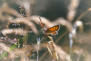 A Small Copper on a summers day